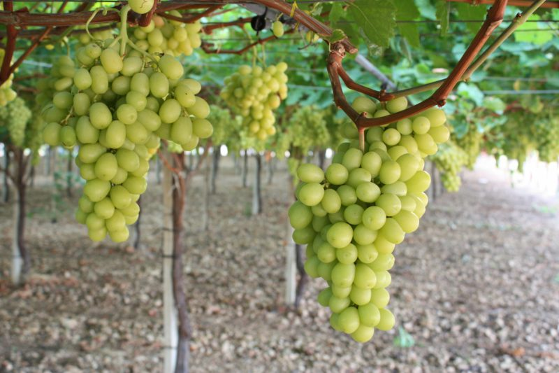 Uva bianca Crystal - Agricoper
