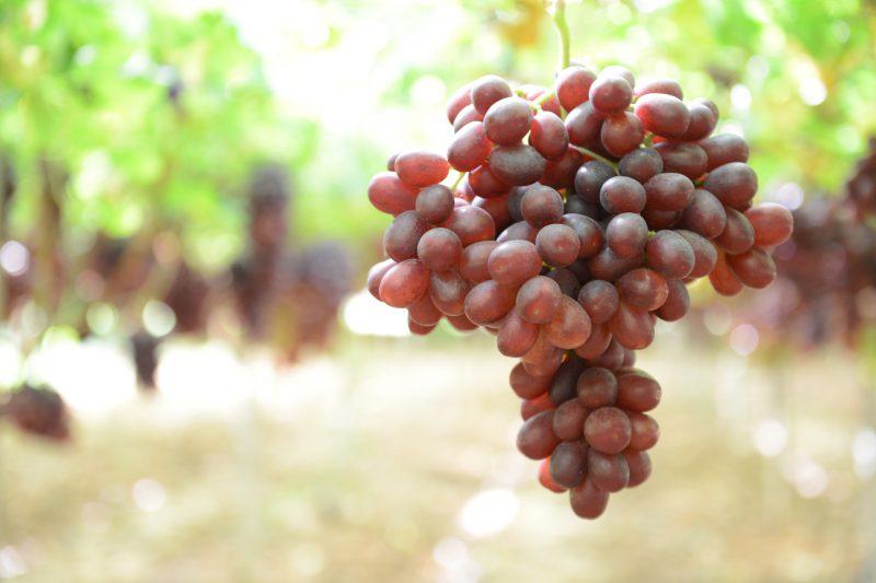 Uva rossa Jack's Salute - Agricoper